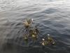 A-Loch-Lomond-duck-family