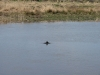 1-of-3-porpoises-stirling-boathouse-high-tide-april-13