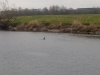 otters-fish-dinner-stirling-river-forth-april-2013