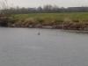 otters-fish-dinner-stirling-river-forth-april-2013